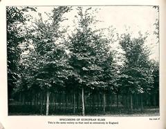 n15_w1150 (BioDivLibrary) Tags: trees newyorkstate catalogs ornamentaltrees amawalk nurserystock nurserieshorticulture mertzlibrarythenewyorkbotanicalgarden amawalknursery europeanelms bhl:page=46503731 dc:identifier=httpbiodiversitylibraryorgpage46503731 taxonomy:common=europeanelm