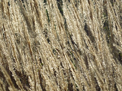 Calamagrostis (AzIbiss) Tags: plants sun plant grass canon outdoor calamagrostis amateur backlighting lucidity canondigital hyperzoom bryansk contexture canonsx50
