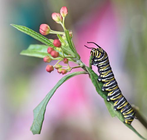 Monarch caterpillar on budding scarlet milkweed - yesterday