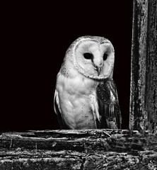 Barn Owl-B&W (tiger3663) Tags: uk white black barn background wildlife owl