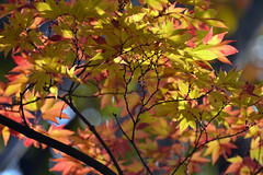 Autumn Sun (bbic) Tags: autumn nature garden acer rays sunshiny japonicum artar