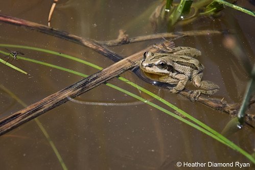 Photo - Heather Diamond Ryan - Western Chorus Frog - Runner Up - Flora & Fauna