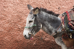 Donkey (k8moonevans) Tags: africa travel urban streets animals nikon donkey morocco transportation marrakech