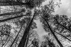 Trees (Stealth Tramp) Tags: trees bw convergence ultrawide bullrun