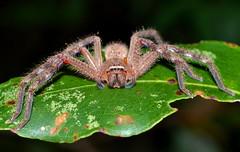 Badge Huntsman (Neosparassus diana) (Ian Bool) Tags: bug spider arachnid australia nsw newsouthwales huntsman millbank invertebrate neosparassus badgehuntsman neosparassusdiana