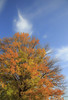 clear autumn sky (20EURO) Tags: park autumn winter light shadow sky orange brown tree green nature yellow forest season evening leaf stem branch timber sunny bluesky autumnleaves fourseasons 紅葉 自然 緑 drying 公園 coldness オレンジ 寒い deadleaf 黄色 晴天 樹木 森 赤 茶色 枝 青空 枯葉 落葉 季節 晩秋 四季 defoliation 初冬 clearautumnsky 寒気 canoneos5dmarkⅲ 秋晴 木枯し