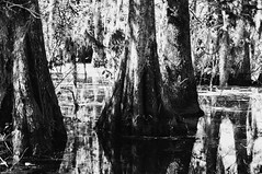 41 (kylen.louanne) Tags: portrait nature cat louisiana alligator gators bayou swamp cypresstrees lakemartin breauxbridge swampcat
