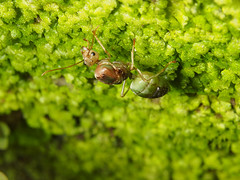 Oecophylla smaragdina queen ant (VC Arun) Tags: green ant greenant oecophyllasmaragdinaqueenant