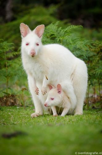 White Bennett's Wallaby