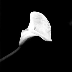 Cala. Bronica-S2, ORWO NP15, exp:1988. (Andrey Maltsev) Tags: old bw flower 120 6x6 film canon 1988 scan 120film bronica scanned rodinal cala expiredfilm 75mm orwo bwfilm middleformat 8800 blackandwhitefilm bronicas2 iso25 blackandwhiteflower whitecala orwonp15 np15 canon8800f rodinalr09oneshot