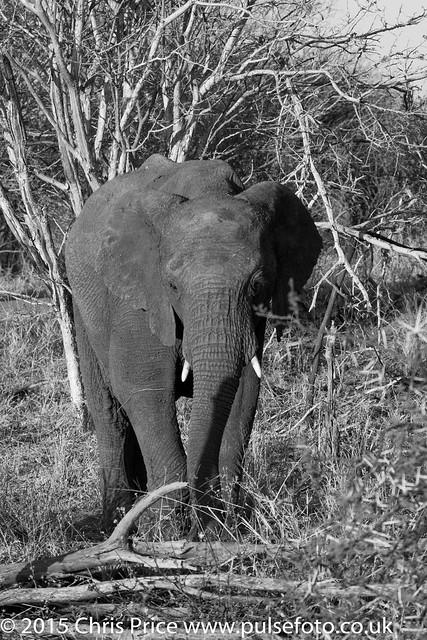 Elephant, Madikwe Game Reserve