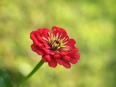 zinnia (quarzonero ...Aldo A...) Tags: flower nature zinnia coth5 sunrays5