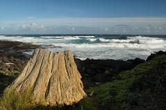 [insert imagination here] (rovingmagpie) Tags: beach hawaii waves driftwood stump halii kaalualu turtleslava2014