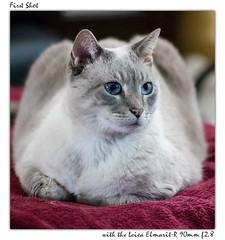 nala-leica (hodad66) Tags: cat feline nala leicaelmaritr90mmf28 sonya7ii