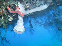 Sea anemones (California Will) Tags: redsea scuba jordan aqaba