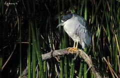 Male Black-crowned Night Heron 0982 (Ethan.Winning) Tags: birds northerncalifornia northamerica avian herons shorebirds blackcrownednightheron supershot walnutcreekopenspace dailynaturetnc13 dailynaturetnc14 eawinning heathfarmnaturepreserve