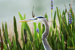 blue heron DSC7032 (photo fl) Tags: bird nature nikon wildlife greatblueheron ardeaherodias d7100 tamron150600