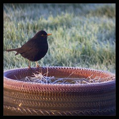 blackbird (Neil Tackaberry) Tags: county morning ireland irish cold bird nature animal fauna wildlife neil kerry co ornithology blackbird avian countykerry cokerry gardenbird neilt gardenvisitor tackaberry northkerry irishgardenbird neiltackaberry