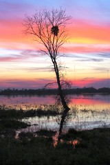 Winter Photography (moonjazz) Tags: nature sky color conservancy california evening night wilderness centralvalley twilight nest bird light pink pastel hues purple swamp sunset tree consumnesriver sacramento