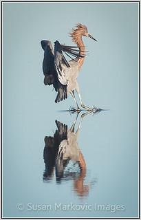 Reddish Egret (Bolsa Chica Ecological Preserve)