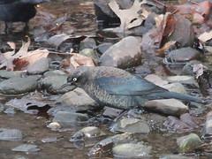 Rusty Blackbird (lifer) (Tombo Pixels) Tags: bird newjersey nj rusty blackbird lifer rustyblackbird twb1 middlesexgreenway greenway140041