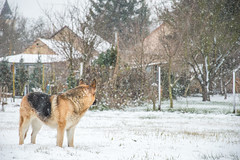 Look back, where it was safe... (Bence Fekecs) Tags: winter dog snow december snowing germanshepherd