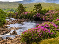 505040783356921 (selleheeralall6517) Tags: world travel trees ireland mountain green tourism nature beautiful field river landscape flow amazing scenery rocks purple bend farm bank eire course lilac valley flowing rhododendrons erriff fileds colorphotoaward favoritegarden