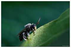 a place in the sun (klaus.huppertz) Tags: macro animal fauna insect nikon wildlife bee makro insekt tier biene sigma105mm miningbee sandbiene d7000