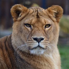 Nala @ Stichting Leeuw 05-03-2016 (Maxime de Boer) Tags: cats animals zoo big leo african lion foundation nala dieren lioness stichting dierentuin leeuwin leeuw dierenpark panthera landgoed afrikaanse katachtigen hoenderdaell