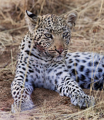 Little L (Thomas Retterath) Tags: africa nature animals canon cub tiere natur leopard afrika predator mammals namibia carnivore bigfive okonjima 2015 felidae pantherapardus sugetier raubtiere africatfoundation eos5dmarkiii ef300lis28usm