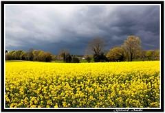 Bientt l'orage, Soon the thunderstorm. (De Bretagne et d'ailleurs) Tags: fleurs jaune lumire nuages printemps orage colza tamron2875 canon5dmkii