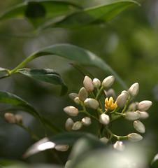 IMG_8570.CR2 (jalexartis) Tags: flowers flower spring bloom blooms shrub shrubbery nandinadomestica