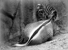 Striped (MEaves) Tags: blackandwhite bw nature monochrome animal mammal stripes zebra