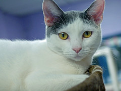 Pounce (AbbyB.) Tags: rescue pet cat newjersey feline shelter adopt adoptable shelterpet petphotography easthanovernj mtpleasantanimalshelter