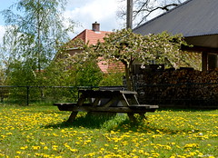 Dandelions (JaapCom) Tags: flowers holland netherlands dutch yellow farmhouse fleurs bank flowering stool flour hooiberg bloemen veluwe dandelions boerderij paardebloemen wezep jaapcom