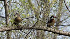 Wood Ducks in a Tree (Aria (RJWarren)) Tags: tree bird nature birds canon duck midwest wildlife ducks iowa perch perched drake t3i woodduck polkcounty aixsponsa tamron150600mm