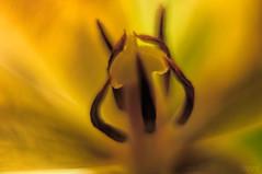 Yellow Inside (fs999) Tags: flower macro fleur paintshop pentax tube sigma 25 paintshoppro f18 blume makro k5 corel bloem 1835 aficionados pentaxist artcafe kenko hsm uniplus 1000iso sigma1835 masterphotos pentaxian pzaf ashotadayorso macrolife justpentax topqualityimage zinzins flickrlovers topqualityimageonly fs999 fschneider pentaxart pentaxk5iis k5iis sigmaart1835mmf18dchsm x8ultimate paintshopprox8ultimate