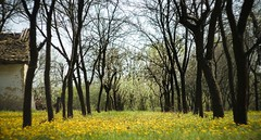 Maslaak (Oroku1) Tags: old light tree green apple nature field yellow spring colorful time side country serbia posed sunflower vojvodina srbija jabuka maslaak sala