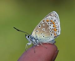 20160526-087F (m-klueber.de) Tags: fauna schmetterling rhn 2016 bluling europische tagfalter rhnfauna mitteleuropische mkbildkatalog 20160526087f 20160526