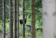 Sude (cocozool2005) Tags: nature forest sweden faune sude lan forts cervids
