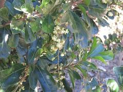Cupaniopsis wadsworthii 5 (barryaceae) Tags: new plants gardens wales botanical coast rainforest harbour south north australian australia species regional coffs the australianrainforestplants ausrfps