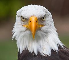 Weiskopfseeadler-1 (karstenniehues) Tags: eagle bald weiskopfseeadler
