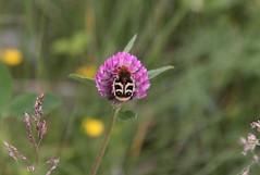Trichius fasciatus (Mikusagi) Tags: insect trichiusfasciatus scarabaeidae cetoniinae humlebagge bladhorningar