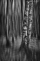 Blurred Birch (Damon Finlay) Tags: 2 blackandwhite white abstract black monochrome silver islands scotland highlands fuji scottish collection pro glencoe nik fujinon icm scottishhighlands highlandsandislands xe1 efex f284 intentionalcameramovement silverefexpro2 fujixe1 xf1855mm xf1855mmf284 nikcollection