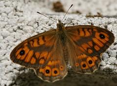 la tintarella... (andrea.zanaboni) Tags: macro colors butterfly nikon ali colori farfalla