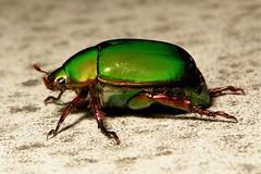 Chafer Beetle (Anomala sp., Rutelinae, Scarabaeidae) (John Horstman (itchydogimages, SINOBUG)) Tags: china macro green insect beetle yunnan trap scarab coleoptera scarabaeidae rutelinae itchydogimages sinobug