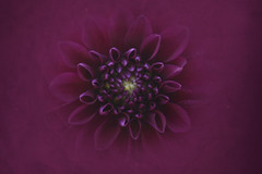 Youll Never Find Another Love Like Mine (C-Smooth) Tags: dahlia flowers macro closeup one nikon purple csmooth d3100 stefanocabello
