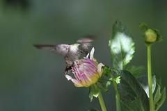 Anna's hummingbird (jlcummins - Washington State) Tags: bird nature hummingbird washingtonstate annashummingbird yakimacounty naturescarousel