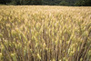 lcosecha de trigo (eitb.eus) Tags: g1 1804 ujué eitbcom tiemponaturaleza vicenteguineaglezdeartaza tiempon2016