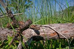 Massasauga in Habitat (Nick Scobel) Tags: nature snake michigan eastern rattlesnake venomous rattler sistrurus massasauga catenatus